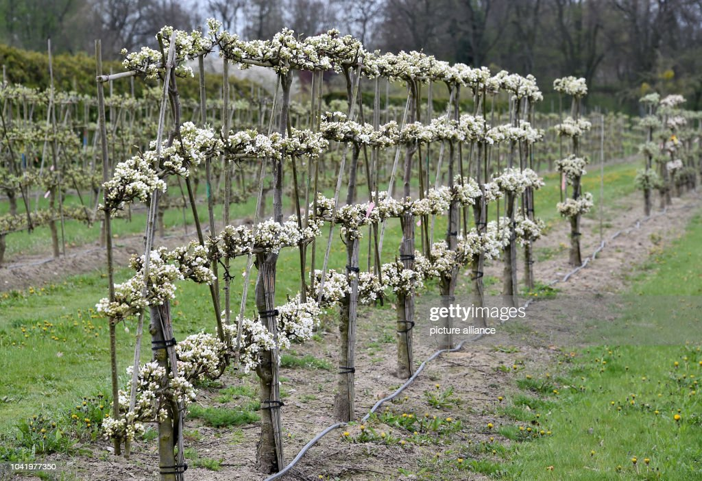Pear Trees Are Growing At The Lorberg Tree Nursery In Tremmen Germany 20 April