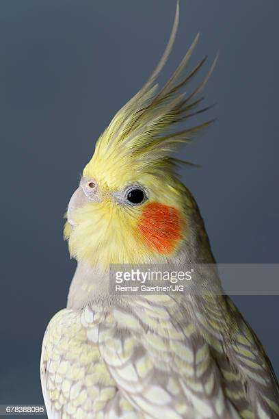 pearl cockatiel - cockatiel stock pictures, royalty-free photos & images