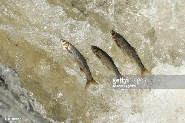 Pearl mullets jump jump upstream at the Lake Van in Van Turkey on May 25 2019 The pearl mullet which live in alkaline salty water in Lake Van must...