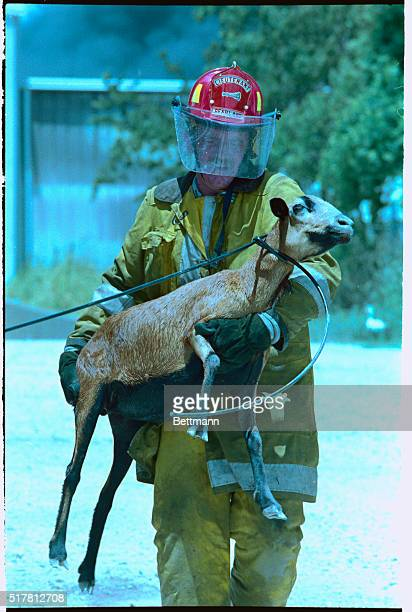 Rescuing a goat from fire Pearland fire fighter Mark Pridgen carries a large goat from area of huge chemical fire and explosion in Pearland Texas...