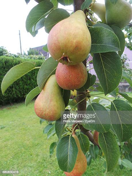 Pears Growing On Tree At Yard