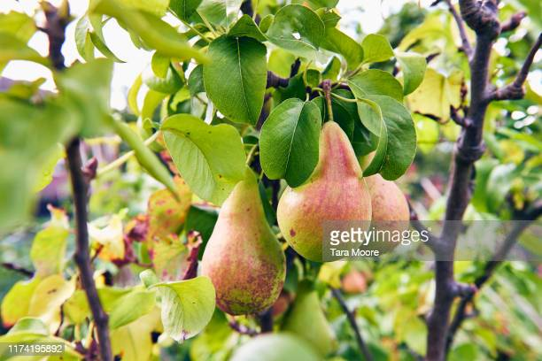 pears growing on tree - orchard stock pictures, royalty-free photos & images