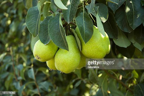 Pears in the tree