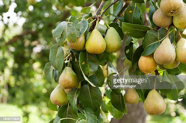 Pears, Pyrus, on the tree