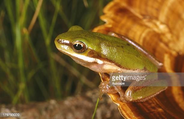 Pearson's green tree frog Litoria pearsoniana nearthreatened species Cedar Creek Brisbane Queensland Australia