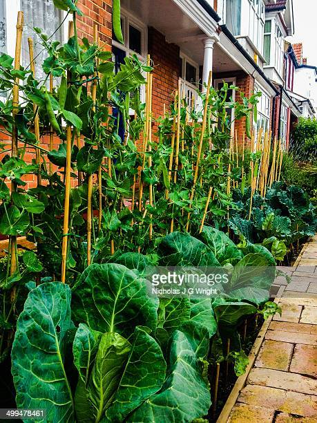 Peas and cabbages growing in vegetable patch of front garden in SW London