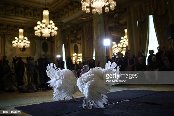 Peas and Carrots the National Thanksgiving Turkey and its alternate are shown to members of the media during a press conference held by the National...