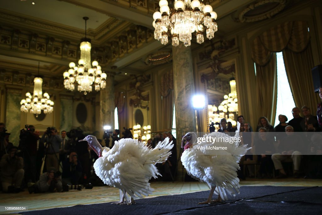 National Thanksgiving Turkeys Meet The Press Before Official Presidential Pardon : News Photo