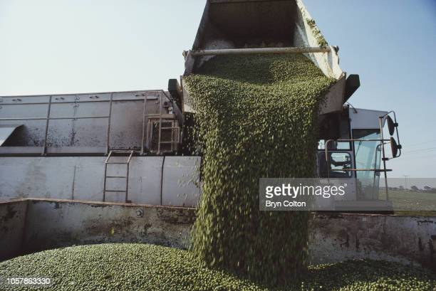 Peas are dumped from a pea viner after harvest into a waiting lorry ready for transportation back to the Birds Eye factory Suffolk UK on Wednesday...