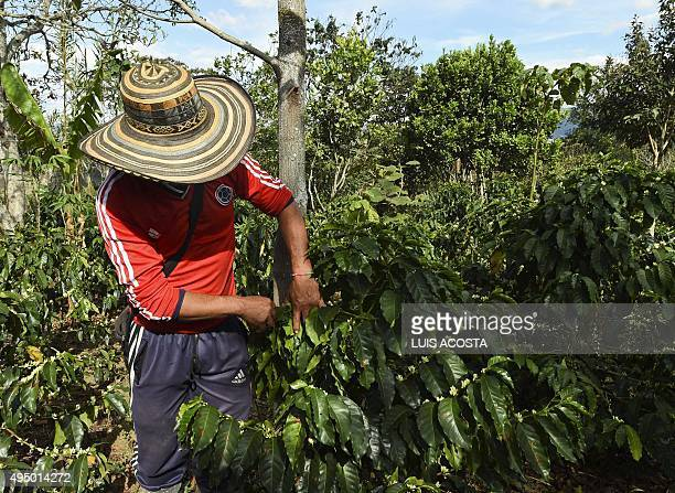 A peasant checks coffee beans in La Tola plantation El Tambo Narino Department on October 21 2015The severe drought in Colombia caused by the El Nino...