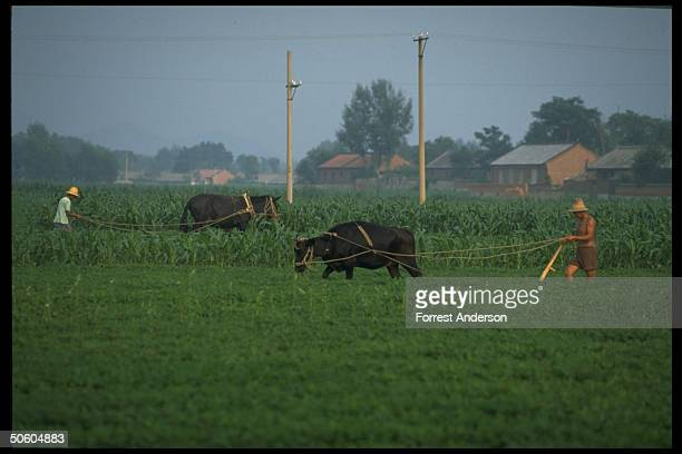 Peasant farmers plowing cornfields 1 w 1 cowpower plow other w horsedrawn in Hebei province farming countryside nr Beijing China