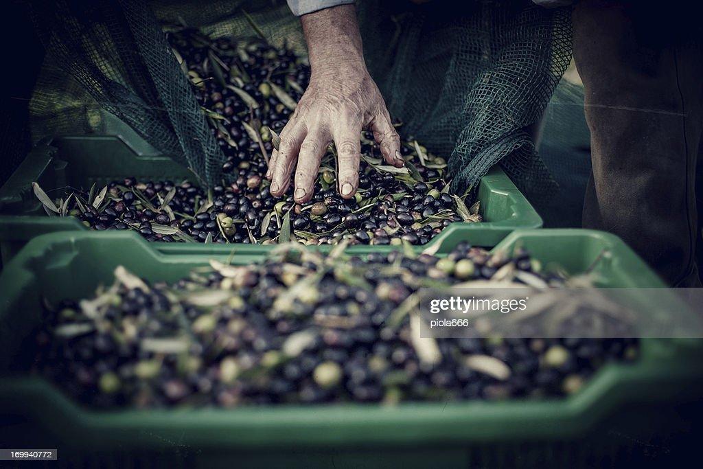 Contadino mani durante la raccolta di olive : Foto stock
