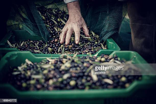 peasant hands during olives harvesting - olive tree stock pictures, royalty-free photos & images