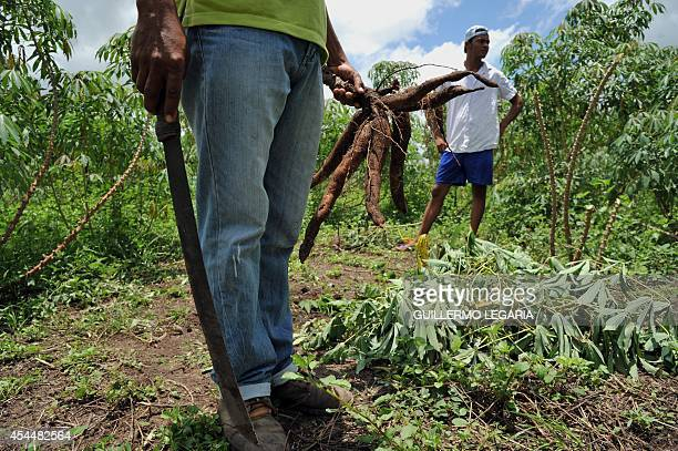 A peasant harvests cassava at a farm near the town of Chibolo Magdalena department Colombia on August 28 2014 Farmers who in the 90s were displaced...