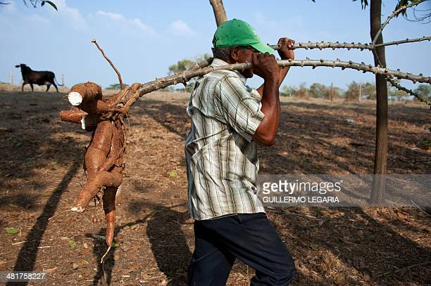 A peasant harvests cassava in Santa Paula's farm near Monteria Cordoba department Colombia on March 28 2014 where some 60 farmers' families live...