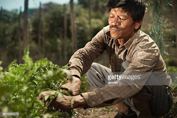 Peasant man fastening ropes to support tomato plants in farm.