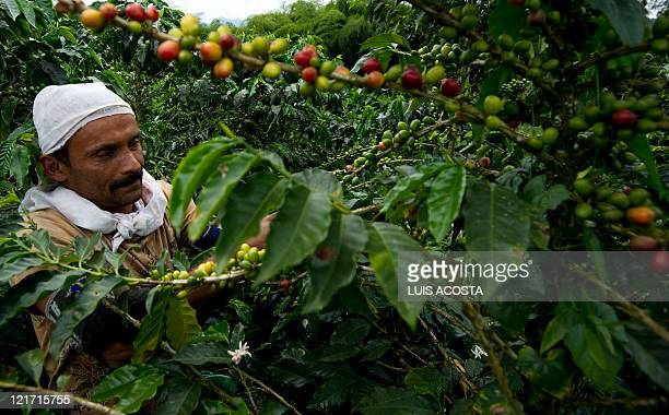 A peasant picks coffee beans in a plantation at the Hacienda Villa Martha in the municipality of La Gloria department of Risaralda Colombia on August...
