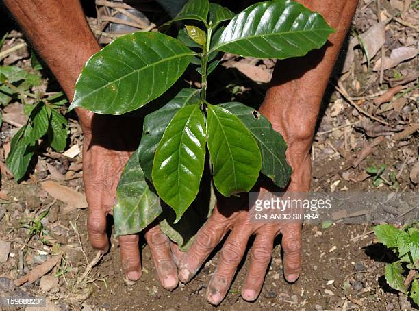 A peasant plants a coffee plant in the department El Paraiso 110 kms east of Tegucigalpa on Januray 17 2013 Central America one of main producers of...