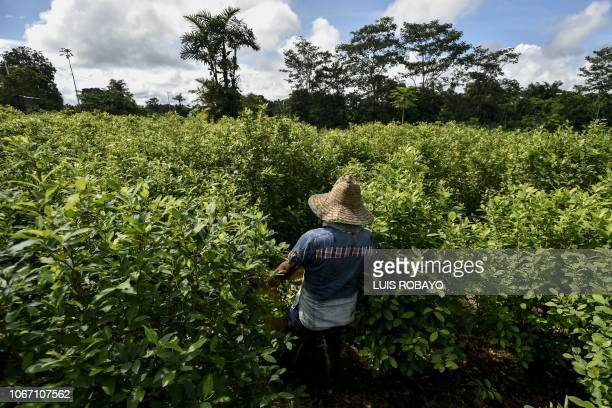 A peasant walks at a coca field in Vallenato rural area of the municipality of Tumaco department of Narino in the southwest of Colombia near the...