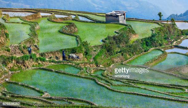 a peasant with water buffalo walking at rice terraces - yuanyang stock pictures, royalty-free photos & images