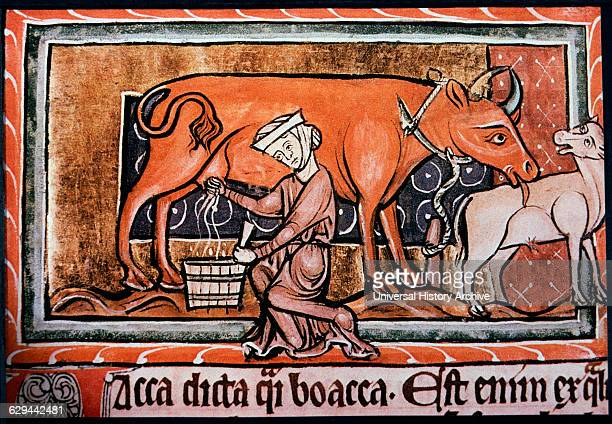 Peasant Woman Milking a Cow England Illustration 13th Century