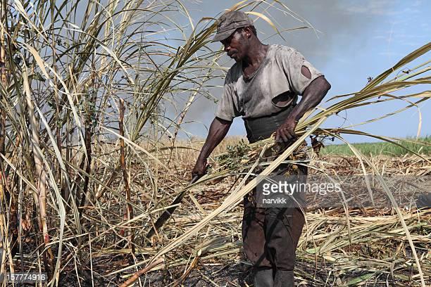 Peasant worker harvesting sugar cane