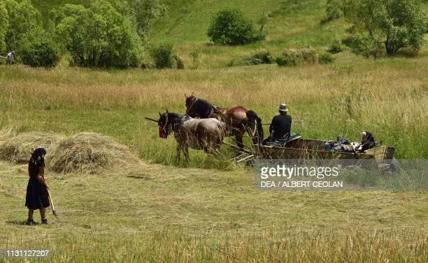 Peasants during haymaking horsedrawn cart Brebi Maramures Romania