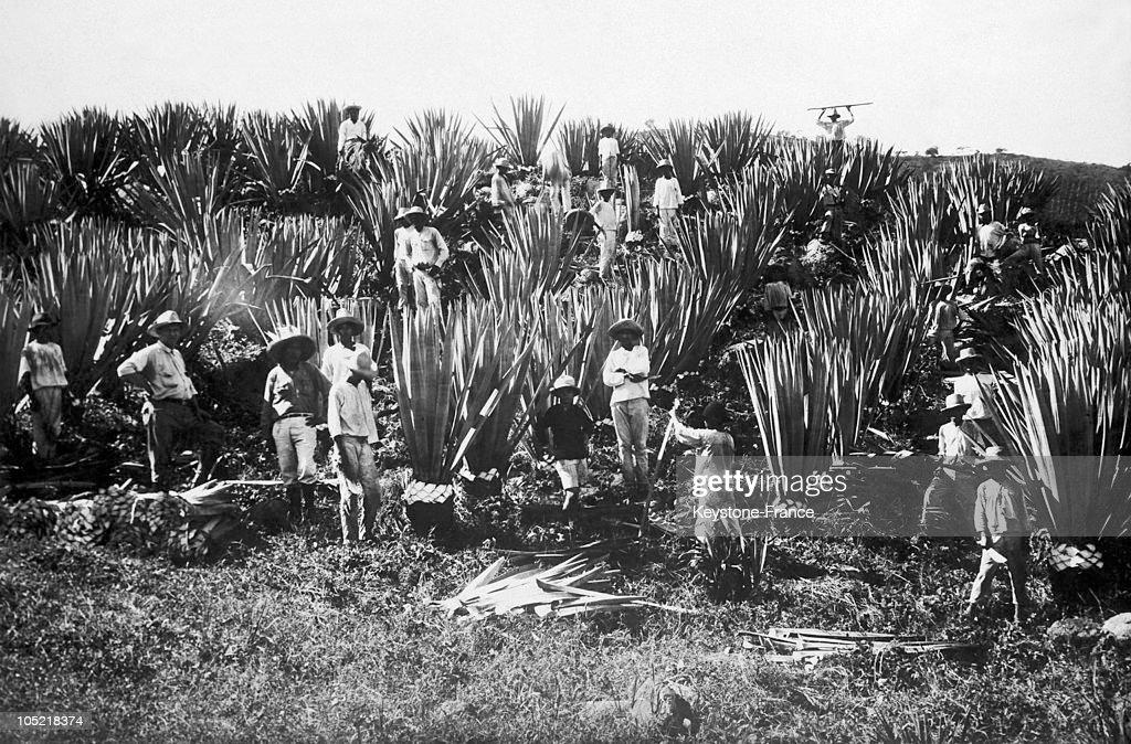 Harvest On A Hemp Plantation 1900-1930 : News Photo