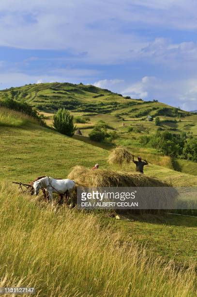 Peasants loading hay onto a horsedrawn cart Bocicoel Maramures Romania