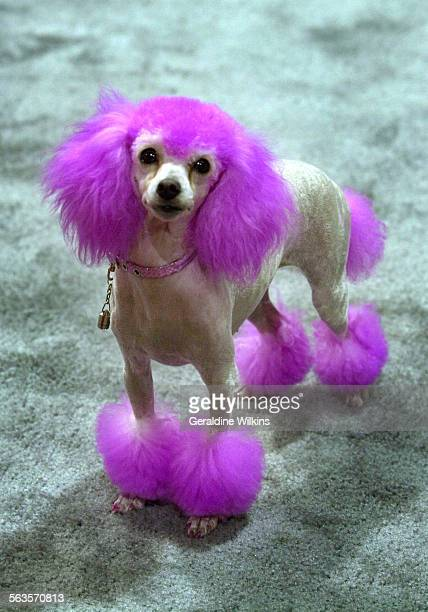 Pebbles a toy poodle demonstrated a way Roni Higins 4 of Newbury Park can groom a dog Higgins who runs The Pink Poodle Dog Grooming and daycare...
