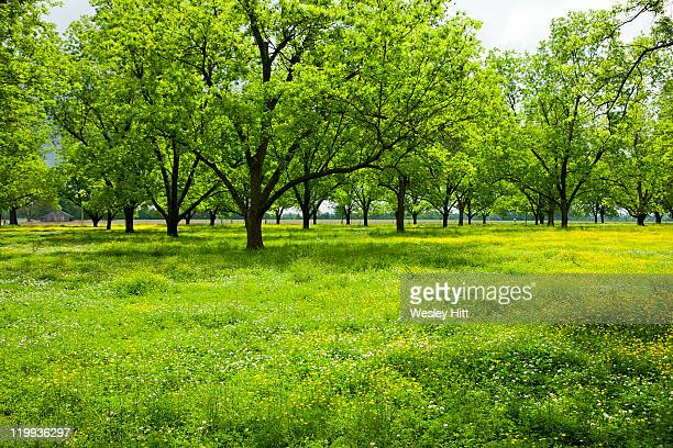 pecan grove of trees - grove_(nature) stock pictures, royalty-free photos & images