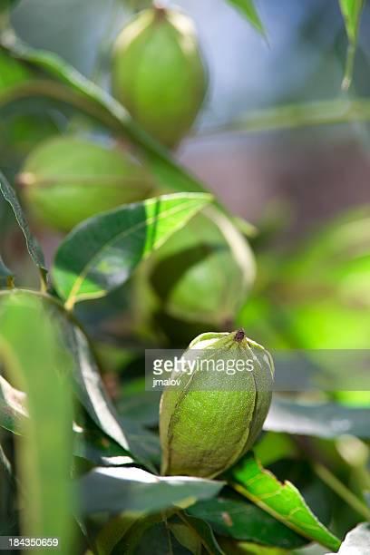 Pekannüssen auf Baum