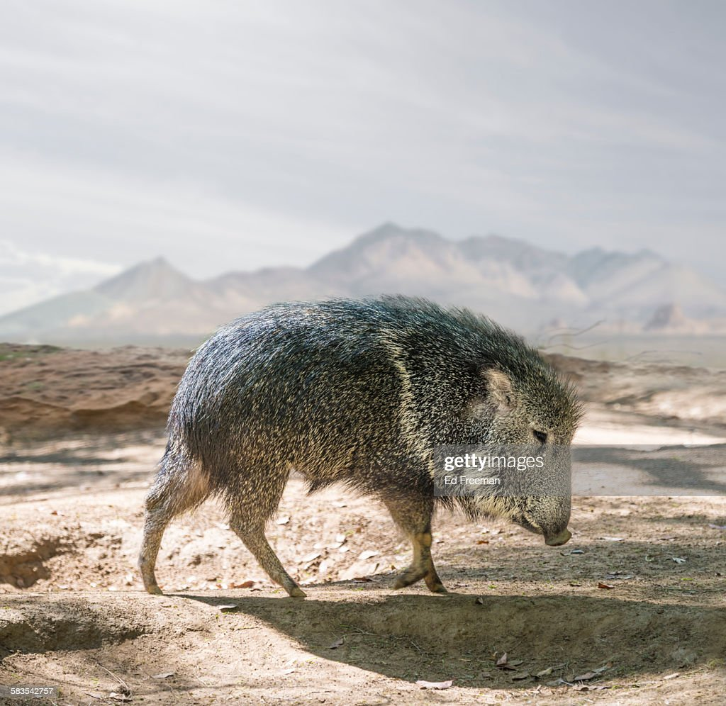 Peccary in Naturalistic Setting : Stock Photo
