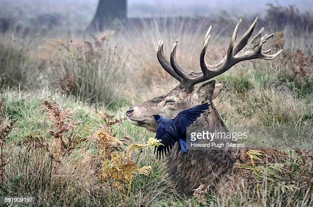 A peck on the cheek for a red deer stag