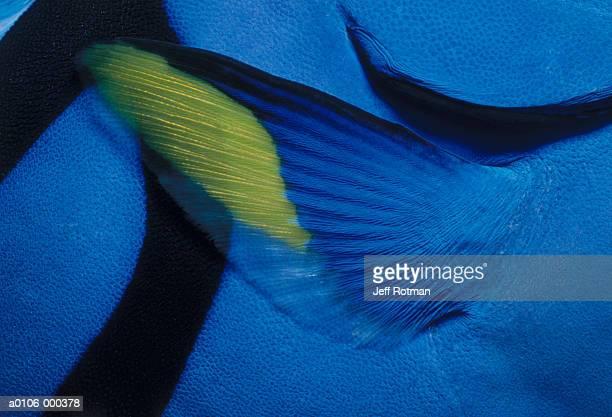 Pectoral Fin of Blue Tang