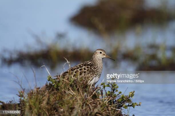 pectoral sandpiper a medium sized shorebird - traditional musician stock photos and pictures
