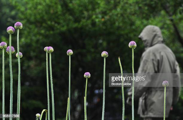 A pedestrian dressed for the cold wet weather passes Purple Sensation alium in full bloom in Boston on June 4 2018