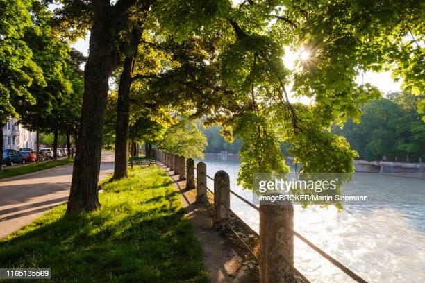 pedestrian path with maple trees on the isar, widenmayerstrasse, lehel, munich, upper bavaria, bavaria, germany - flussufer stock-fotos und bilder