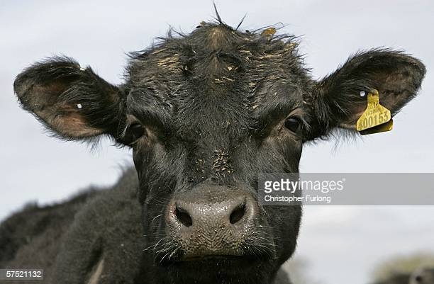 Pedigree Aberdeen Angus is seen on Pyegreave Farm Langley Cheshire on May 3rd Macclesfield Cheshire England The pedigree cattle on the farm are bred...