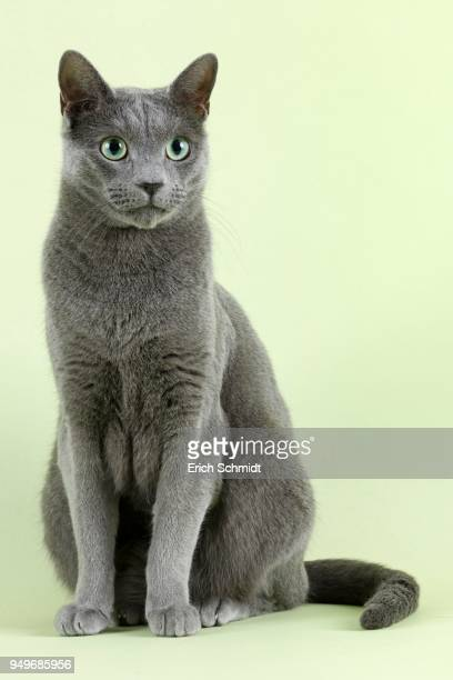 60 Top Russian Blue Cat Pictures, Photos, & Images - Getty