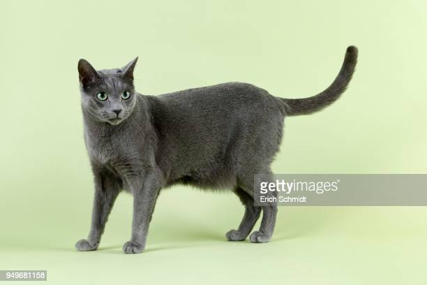 pedigree cat russian blue (felis silvestris catus) - russian blue cat stock pictures, royalty-free photos & images