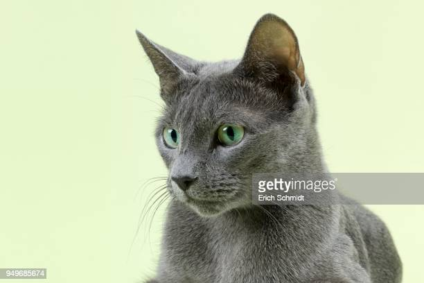pedigree cat russian blue (felis silvestris catus), portrait, age 5 years - russian blue cat stock pictures, royalty-free photos & images