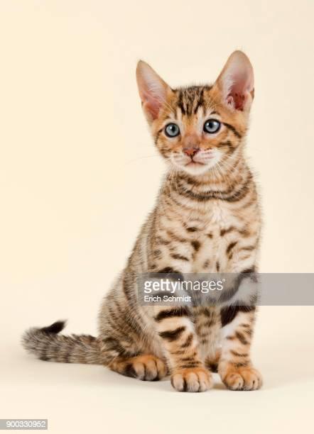 pedigree cat toyger (felis silvestris catus), age 9 weeks, color brown black mackerel, sitting - トラ猫 ストックフォトと画像