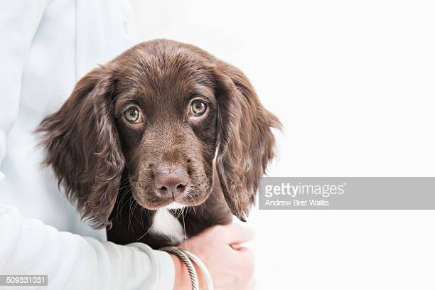 pedigree cocker spaniel puppy cuddled by owner - cocker spaniel stock photos and pictures