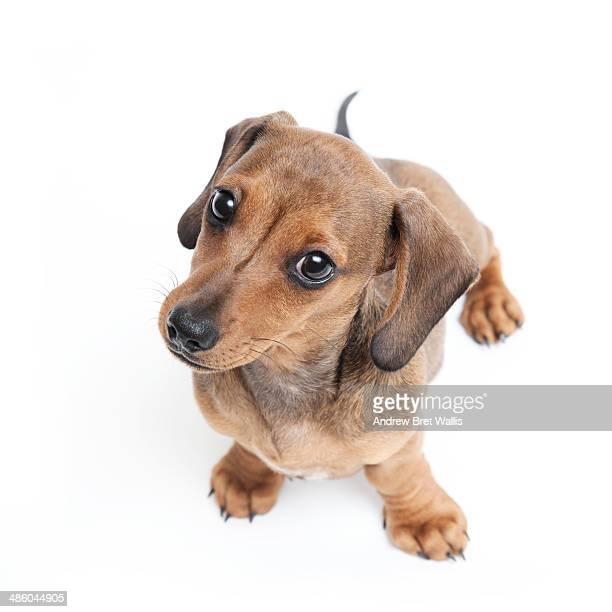 Pedigree Dachshund puppy