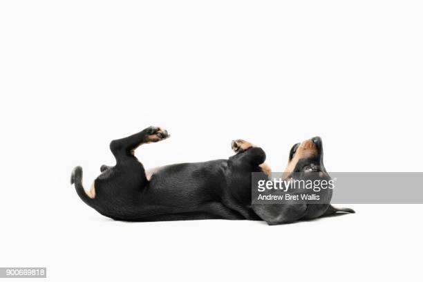 pedigree dachshund puppy rolls onto her back and begs - deitado de costas - fotografias e filmes do acervo