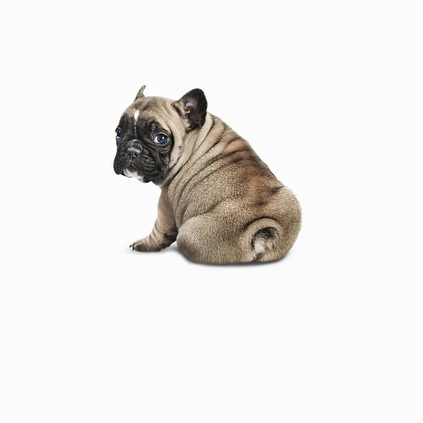 Pedigree French Bulldog Against A White Background Wall Art