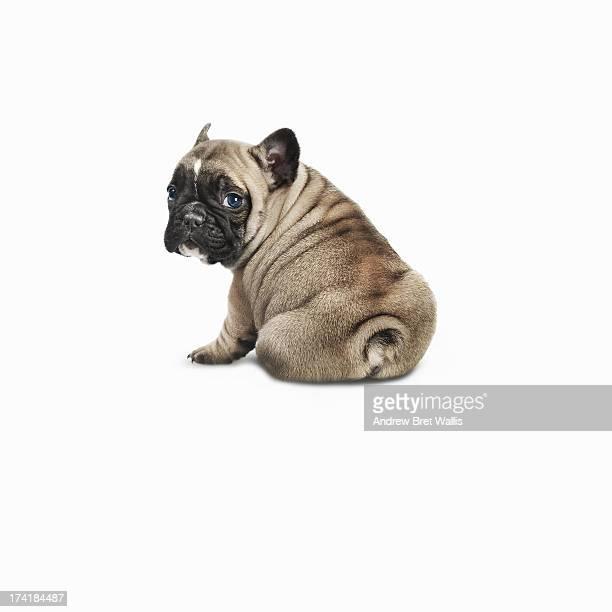 Pedigree French bulldog against a white background