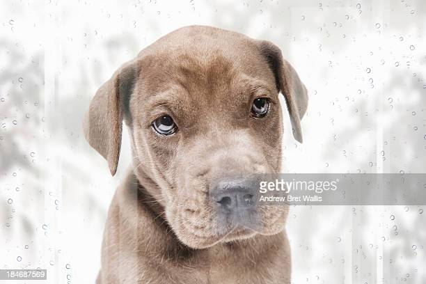 Pedigree Great Dane puppy with nose against window