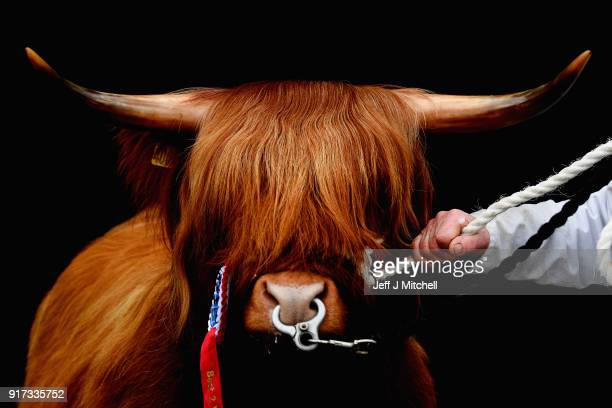 A pedigree highland cow during the 126th Spring Show and Sale on February 12 2018 in Oban Scotland The show and sale is held over two days and is...